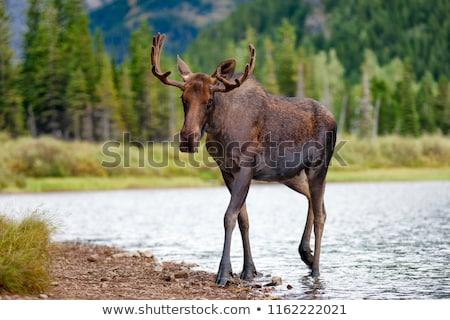 Fiatal bika jávorszarvas útszéli természet Stock fotó © pictureguy