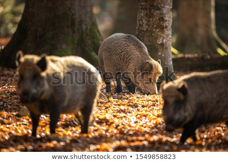 Vad szem erdő nyár tél disznó Stock fotó © lightpoet
