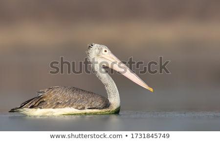 Spot Billed Pelican Stock photo © pazham