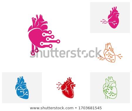 Цифровая иллюстрация человека сердце модель кровь больницу Сток-фото © 4designersart