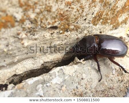 Female Rhinoceros Beetle on Concrete Stock photo © rhamm