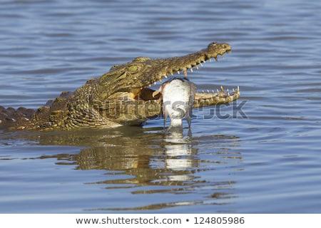 Krokodil yeme tehlikeli büyük timsah göz Stok fotoğraf © photochecker