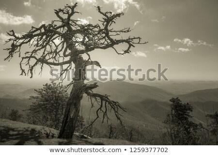 dramático · céu · velho · solitário · árvore · pôr · do · sol - foto stock © phila54