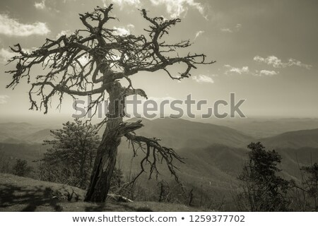 lonley dead tree in the sunset Stock photo © phila54