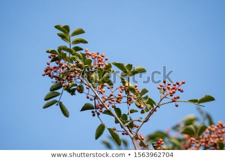 Stock photo: Sichuan pepper leaves