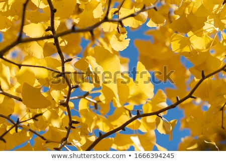 Closeup of ginkgo tree branch with yellow leaves on a blue sky in the autumn Stock photo © guyCalledSale