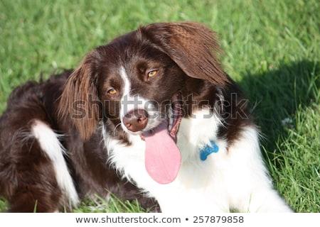 Cute lever witte kruis huisdier hond Stockfoto © chrisga