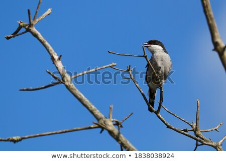 madár · fiskális · felső · fa · szemek · zöld - stock fotó © dirkr