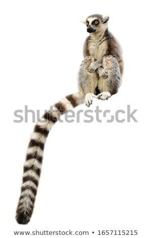 Ring-tailed Lemur (Lemur catta) sit on the tree Stock photo © FrameAngel