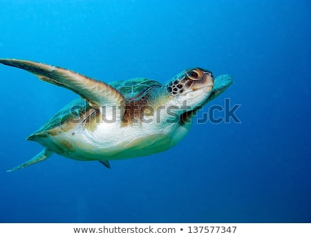 caretta loggerhead sea turtle Stock photo © sirylok