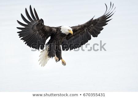 vuelo · calvo · águila · aislado · blanco · aves - foto stock © derocz