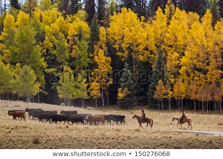 dois · vacas · comer · grama · prado · natureza - foto stock © stryjek