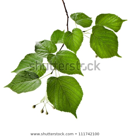 autumnal leaves of lime tree, Stock photo © AlessandroZocc