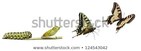 Stok fotoğraf: Tırtıl · kelebek · rezene · kök · doğa · güzellik