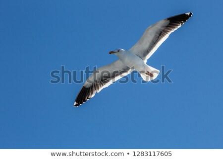 california seagulls flying in the blue sky  Stock photo © meinzahn