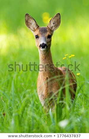 juvenile deer in tall grass stock photo © backyard-photography