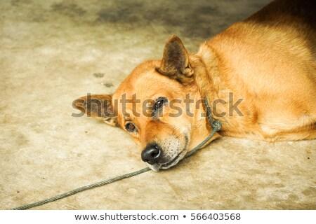 Zdjęcia stock: Captured Dog