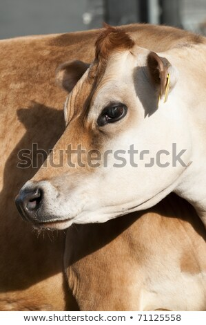 adult female dairy cattle dairy cows of the species bos taurus stock photo © alessandrozocc