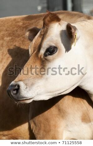 Felnőtt női tejgazdaság szarvasmarha tehenek fajok Stock fotó © AlessandroZocc