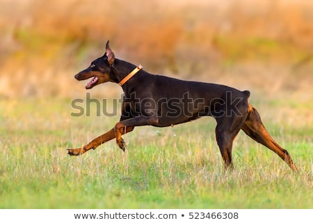brown dog Doberman Pinscher runs gallop  Stock photo © goroshnikova