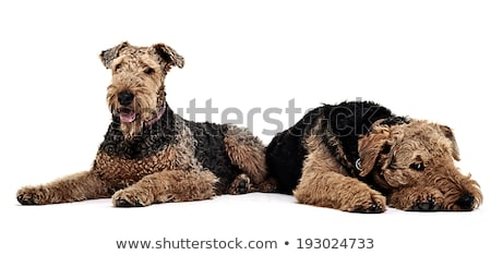 Two Airdale Terrier on the studio floor Stock photo © vauvau