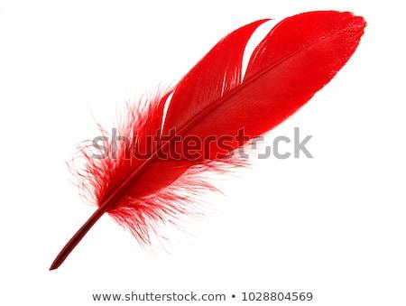Rosso piuma bianco Foto d'archivio © devon