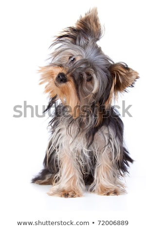 lovely yorkshire terrier standing in a black studio  Stock photo © vauvau