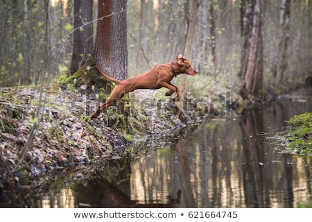 Beautiful dog Irish setter runs Stock photo © goroshnikova