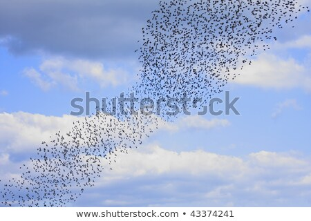 Group Of Starlings Eat Very Much Grapes Stock photo © Digoarpi