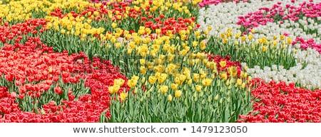 galben · lalea · floare · izolat · alb · frunze - imagine de stoc © scenery1