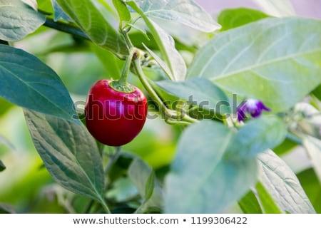 Chilipaprika megnőtt organikus kert érett zöldség Stock fotó © stevanovicigor