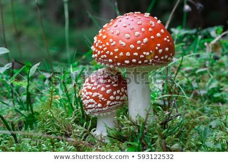 ストックフォト: キノコ · 赤 · 白 · 草 · 秋 · 暗い