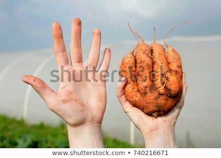 farm worker holding odd shaped carrot Stock photo © IS2