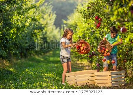 pommes · arbre · alimentaire · pomme - photo stock © is2