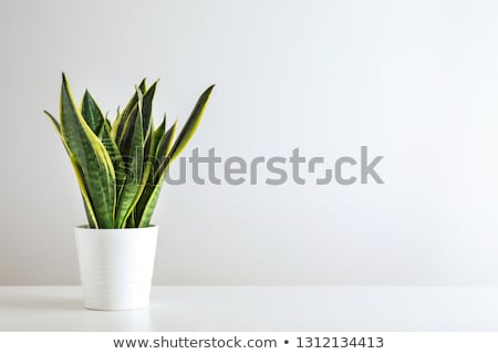hemp grows in flowerpot Stock photo © romvo