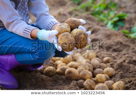 girl with harvest potatoes in a field stock photo © is2