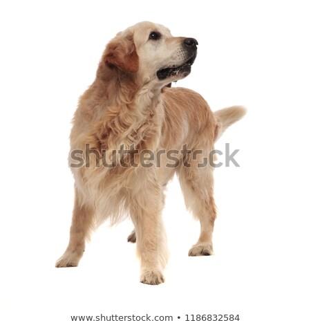 Kíváncsi szőrös labrador külső felfelé oldal Stock fotó © feedough