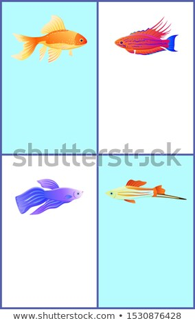 Gold Betta and Swordtail Fishes Colorful Banners Stock photo © robuart
