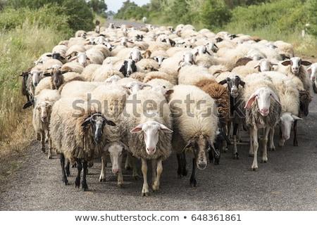 herd of sheeps stock photo © joyr
