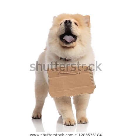 adorable chow chow with billboard around neck looks up Stock photo © feedough