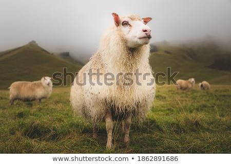 Icelandic sheep in a pasture Stock photo © Kotenko