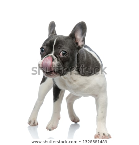 french bulldog touching his nose with tongue Stock photo © feedough