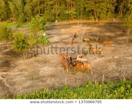 Aerial view from the drone of a small herd of horses for walking near the forest. Stock photo © artjazz