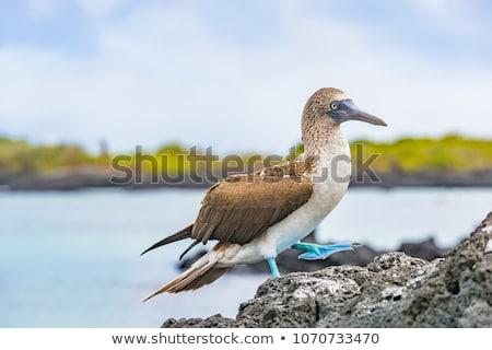 Galapagos animals. Blue-footed Booby - Iconic famous galapagos wildlife Stock photo © Maridav