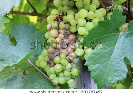 Natural fruits. Grapes on a bush in a farm garden Stock photo © masay256