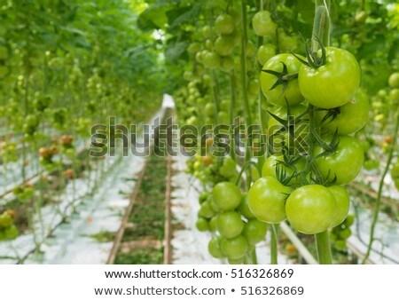 Green tomatoes in hothouse Stock photo © RuslanOmega
