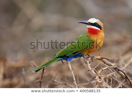 White-fronted Bee-eater (Merops bullockoides) Stock photo © dirkr