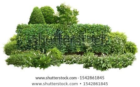 Ornamental Flowering Bush Stock photo © enterlinedesign