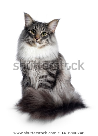 Cute black tabby Norwegian Forestcat on white Stock photo © CatchyImages