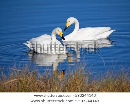 Pływanie jezioro wygaśnięcia zimą niebieski grupy Zdjęcia stock © olira